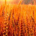 almidon-de-trigo
